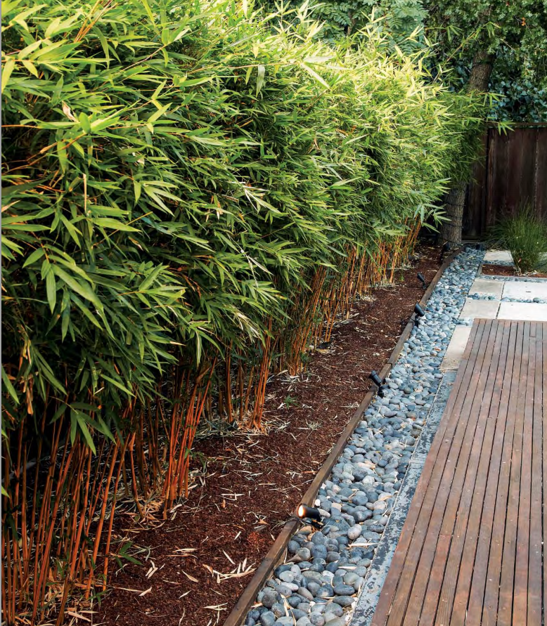 This Elegant Bamboo Hedge Bambusa Multiplex Alphonse Karr Grows To A Neat 7 Ft Height Clumping Bamboos Unlike Running Will Stay Within Their