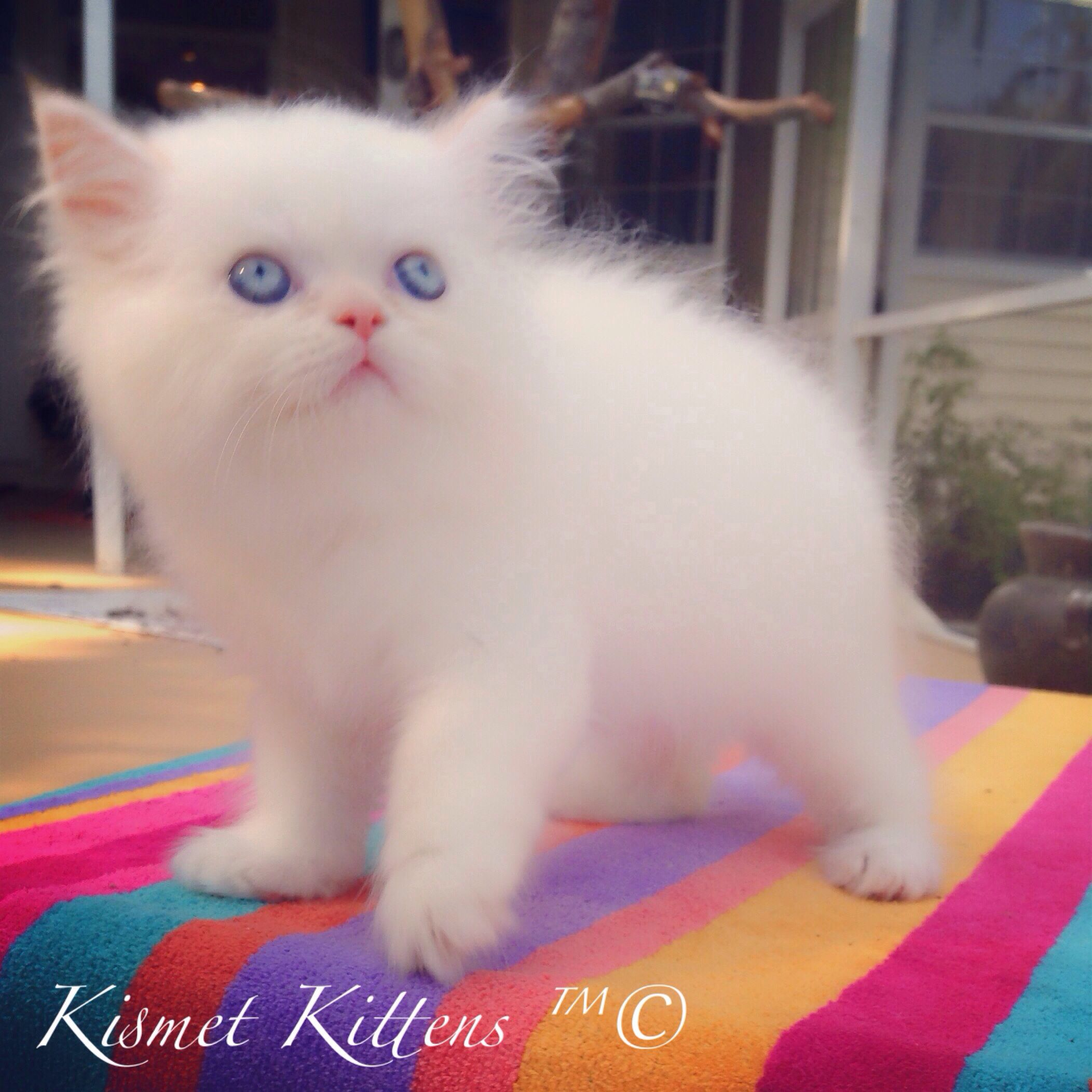 Kismetkittens For Sale Flame Point Toy Doll Face Kitten With