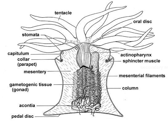 sea anemone anatomy