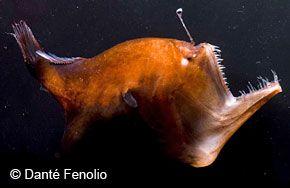 Hadal zone ocean fish deep sea predators pinterest scary fish hadal zone ocean fish publicscrutiny Images