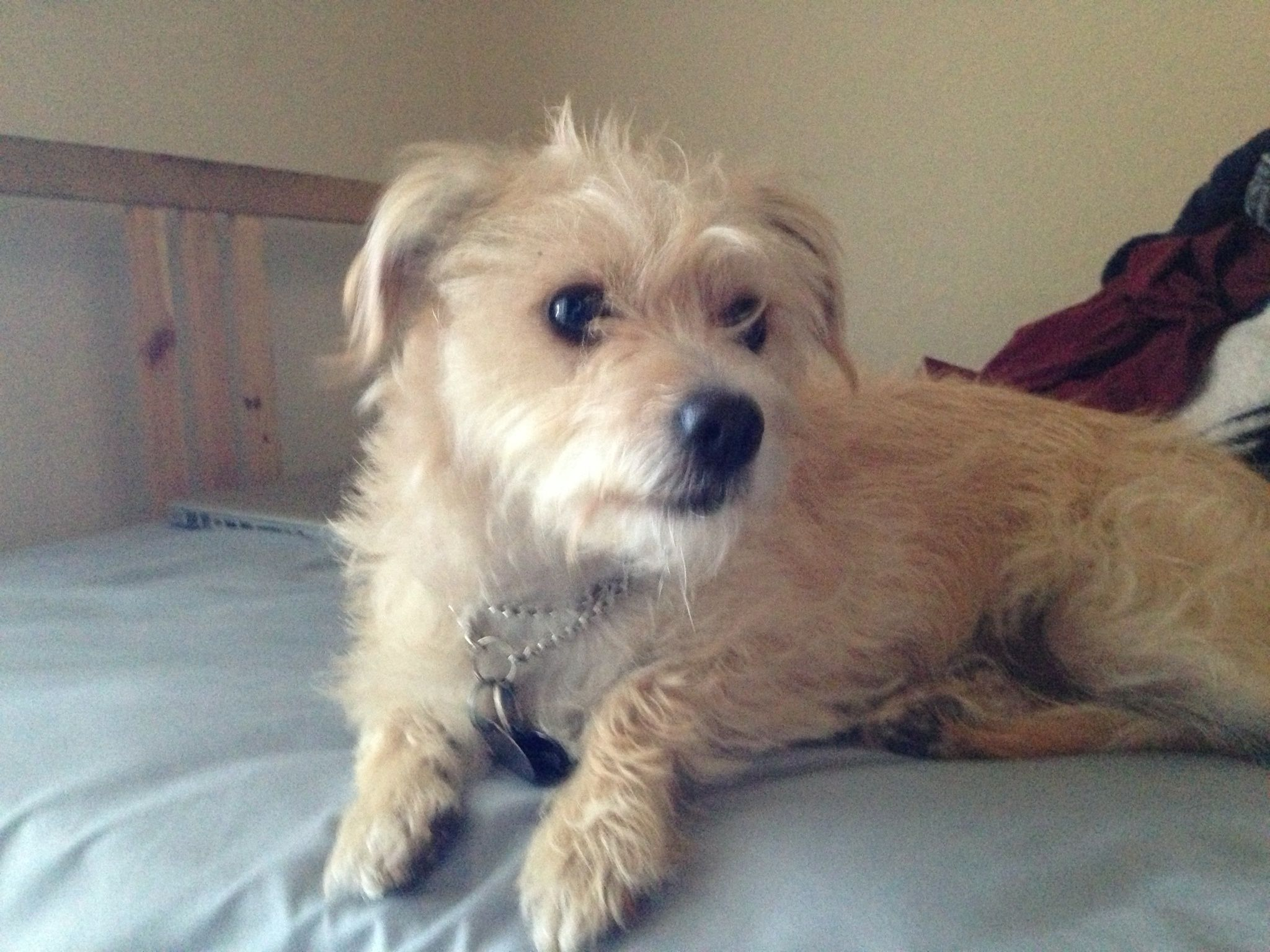Scout The Cairn Terrier Mix Cairn Terrier Mix Terrier Mix
