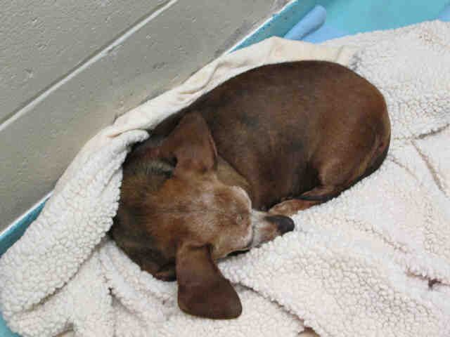 #NCAROLINA #URGENT ~ ID A427463 is a Dachshund Doxie dog at the shelter since 11-16-13 & in need of a loving #adopter / #rescue at ANIMAL PROTECTION of DURHAM 2117 East Club Blvd #Durham NC 27704 Ph 919-560-0640
