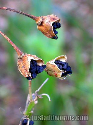 The Humble Reinga Lily Seed Pods