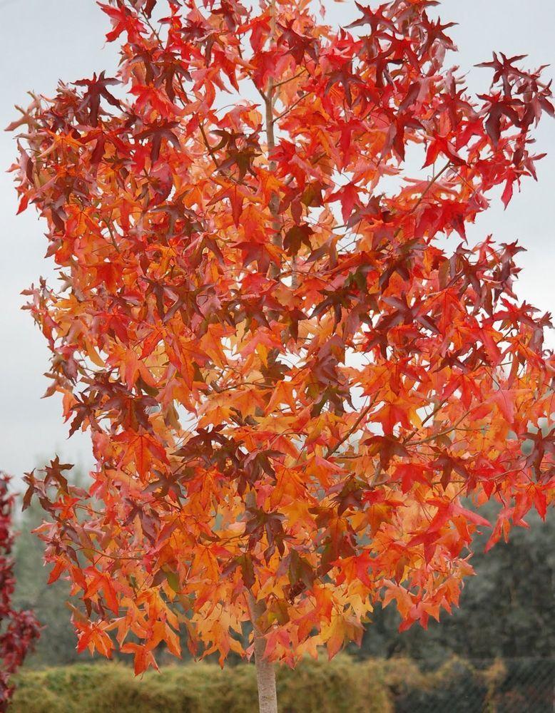 Details About American Sweetgum Liquidambar Styraciflua Tree Seeds Fall Color Hardy Fast Sweet Gum Tree Seeds Sassafras Tree