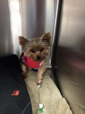 Our little guy was attacked by neighbors dog and lost his leg.  3 days after attack and he's standing and getting around, cant wait to bring him home. #tripawds