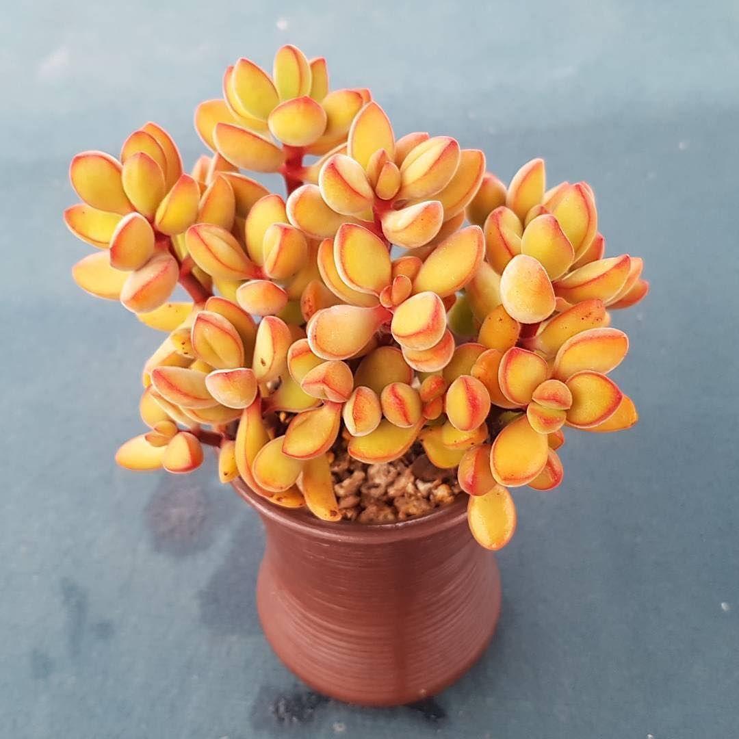Orange Crassula Rogersii With Images Plants Planting