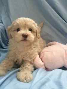 Toy Maltipoo Puppies Ready For Adoption Hamilton Ontario Image 6