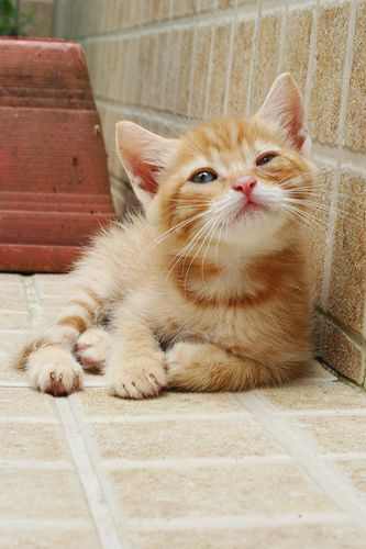 We Have Always Had A Ginger Cat In The House And We Probably Always Will Kittens Cutest Cute Cats Kittens