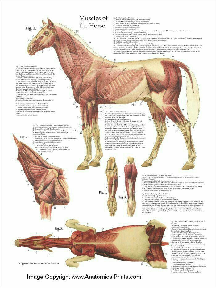 Músculos del caballo | Un poco d Anatomía Equina | Pinterest | Los ...