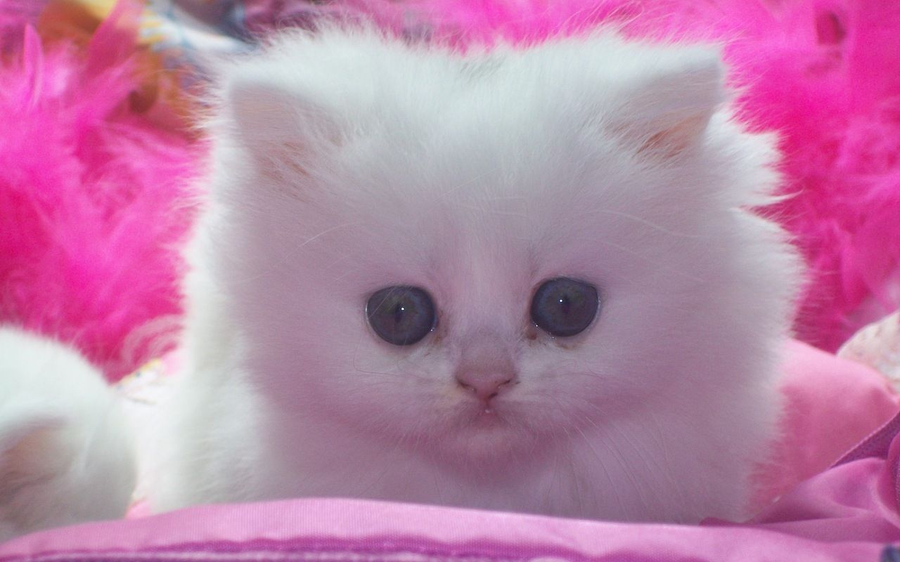 Cute Kitten Kittens Cutest Kitten Wallpaper Cute Cats And Kittens