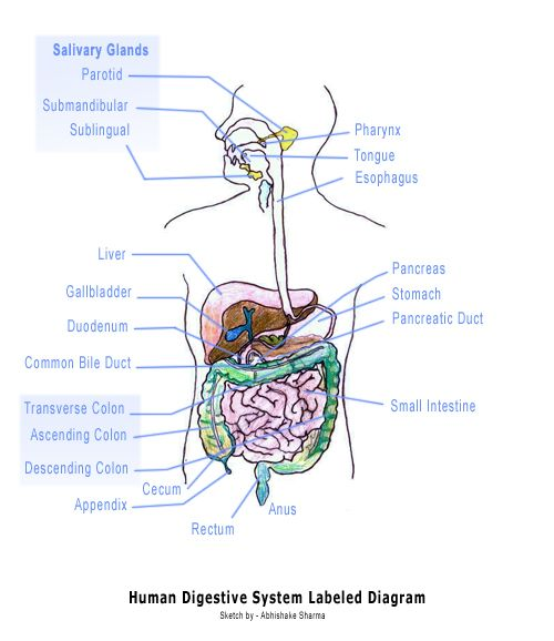 Diagram Of The Digestive System And An Explanation Of Its Working