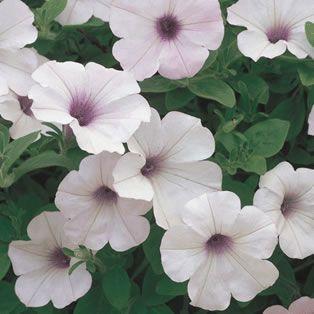 Petunia Supertunia Vista Silverberry