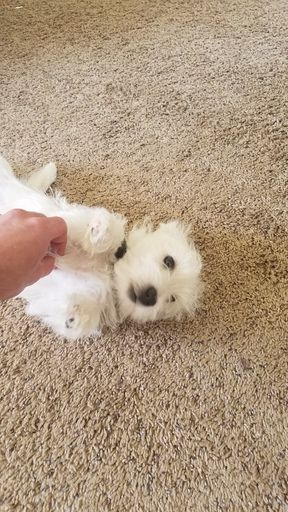 Litter Of 4 West Highland White Terrier Puppies For Sale In Tempe