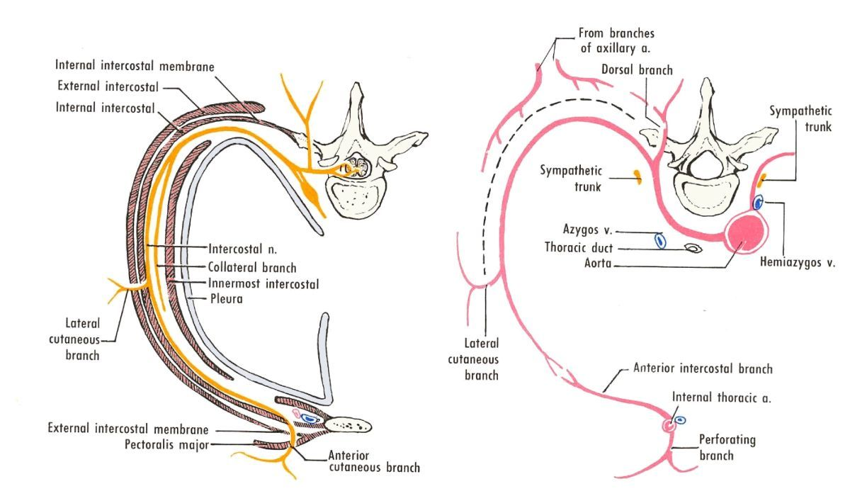 Image Result For Branches Of Intercostal Nerve Study Material