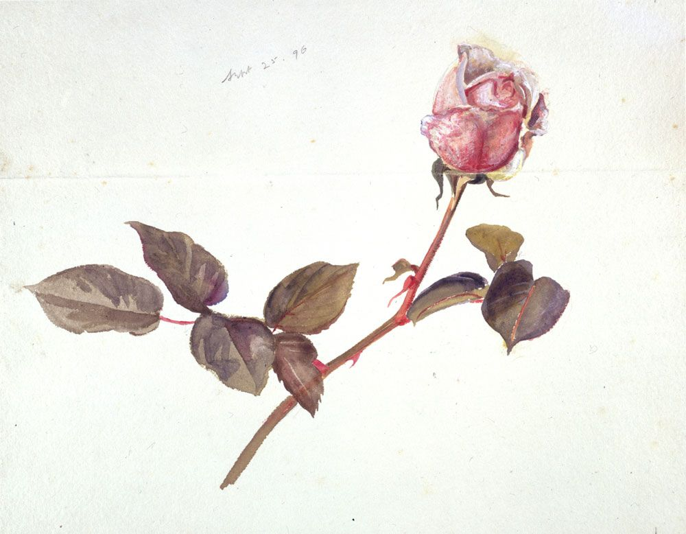Beatrix Potter Botanical Drawings | beatrix potter rose 25 september 1896 frederick warne co copyright f ...