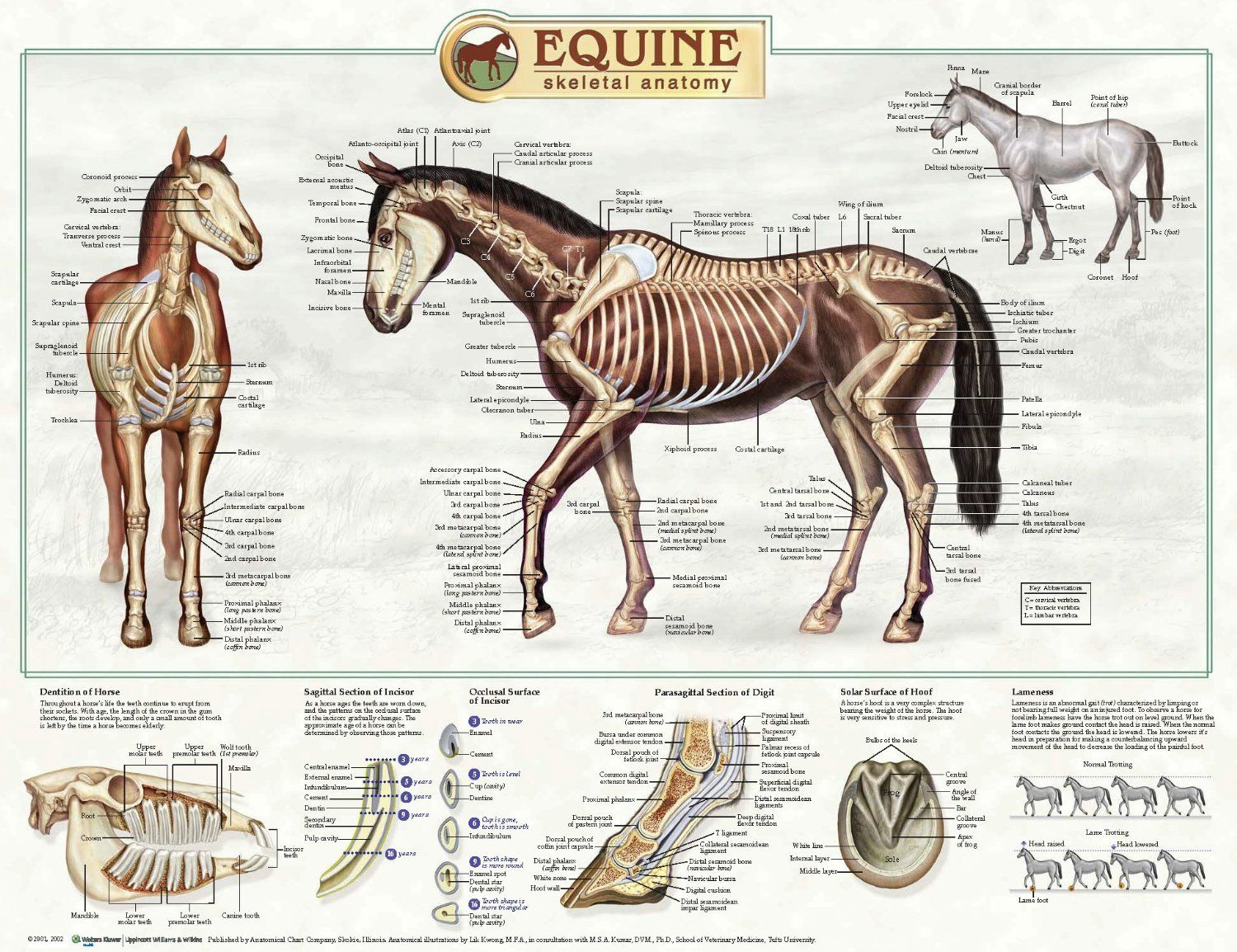 Horse skeletal anatomy | Anatomy | Pinterest | Horse and Horse anatomy