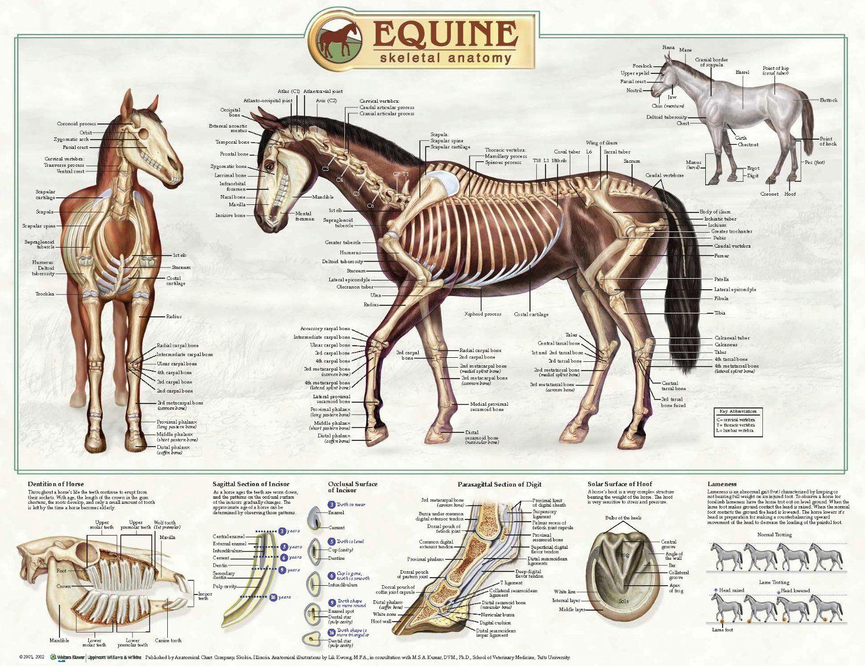 Horse skeletal anatomy | Anatomy | Pinterest | Horse, Horse anatomy ...