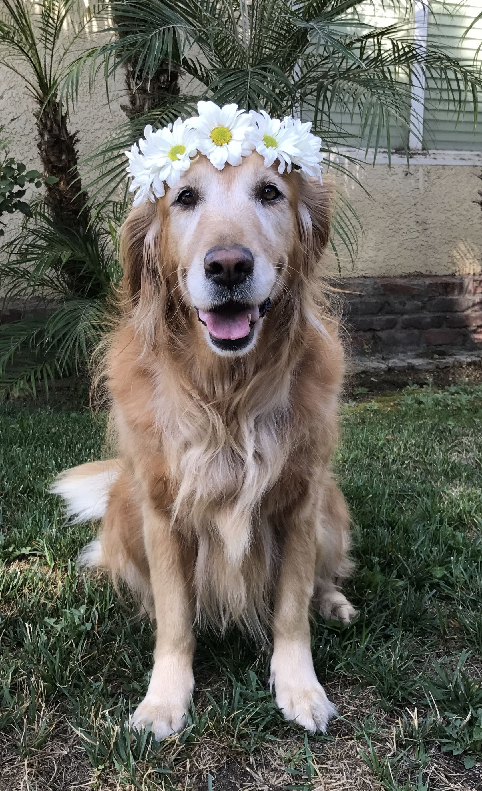 Dustie Girl Golden Retriever Names Cute Animals Golden Retriever
