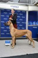 Amasa Great Danes Toowoomba Great Danes Dog Breeds Dogs
