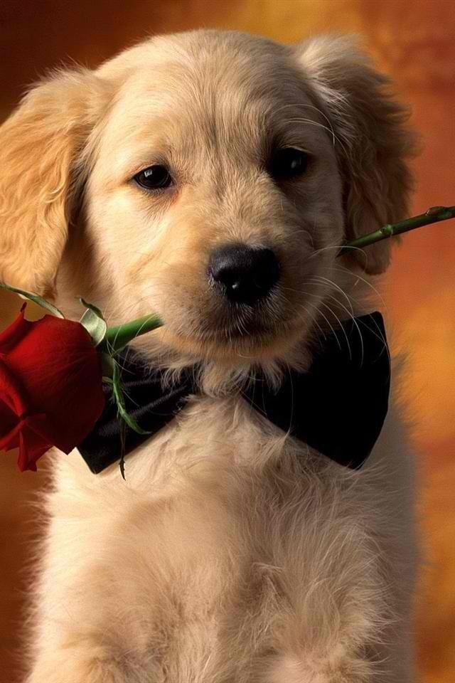 Golden Retriever Puppy Wallpaper Retriever Puppy Dog Wallpaper Cute golden retriever puppies wallpaper