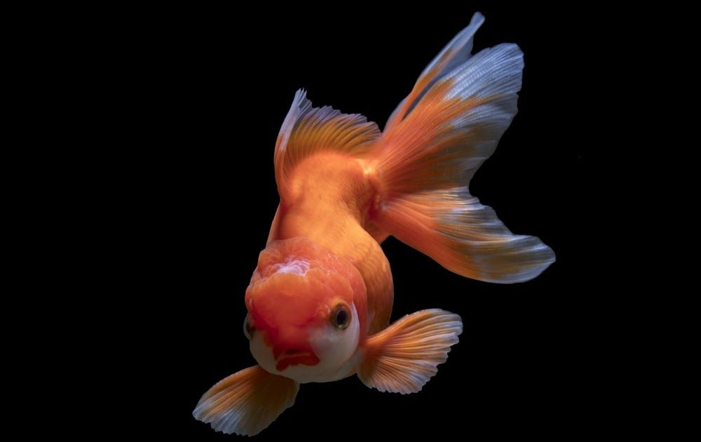 Fish Wallpapers Free Hd Download 500 Hq Unsplash Koi Lucky Fish Live Wallpaper For Android Apk Download Green In 2020 Clown Fish Beautiful Fish Pet Care Printables