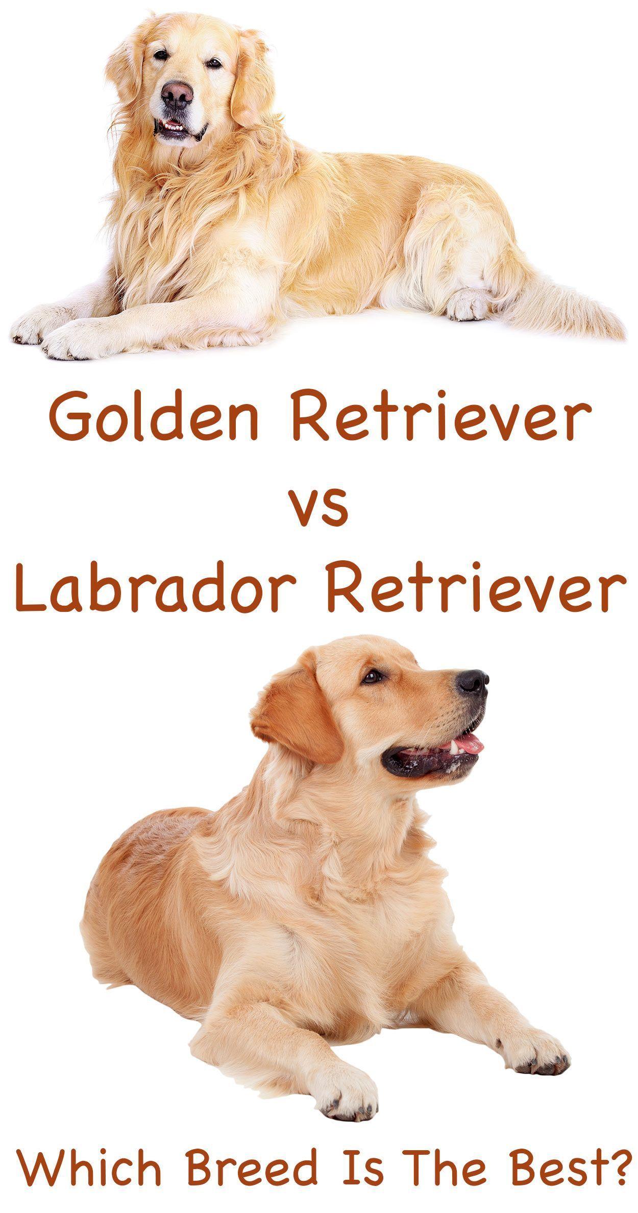 Labrador Retriever Vs Golden Retriever Labradorretriever