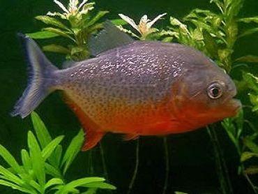 Redbellied Piranhas Pyocentrus Nattereri Oscar Fish Freshwater Aquarium Fish Pet