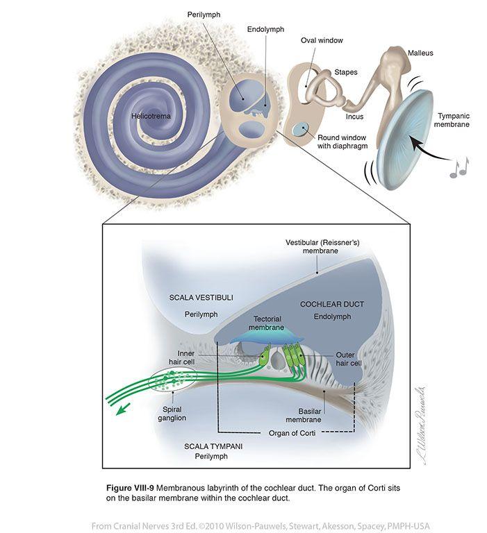 Vestibulocochlear VIII - Cranial Nerves | Medicina | Pinterest ...