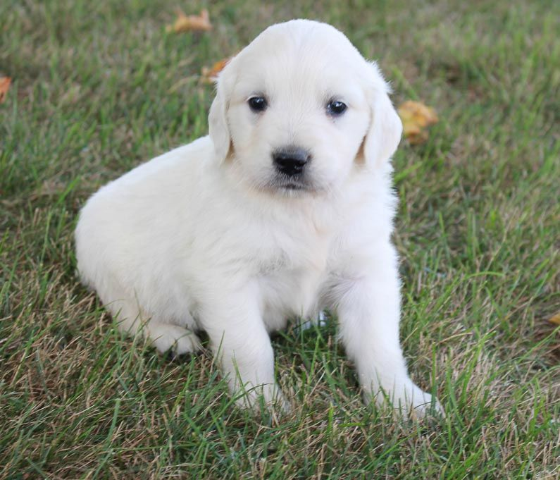 Max Male Beabull Pup For Sale Near Nappanee Indiana Golden