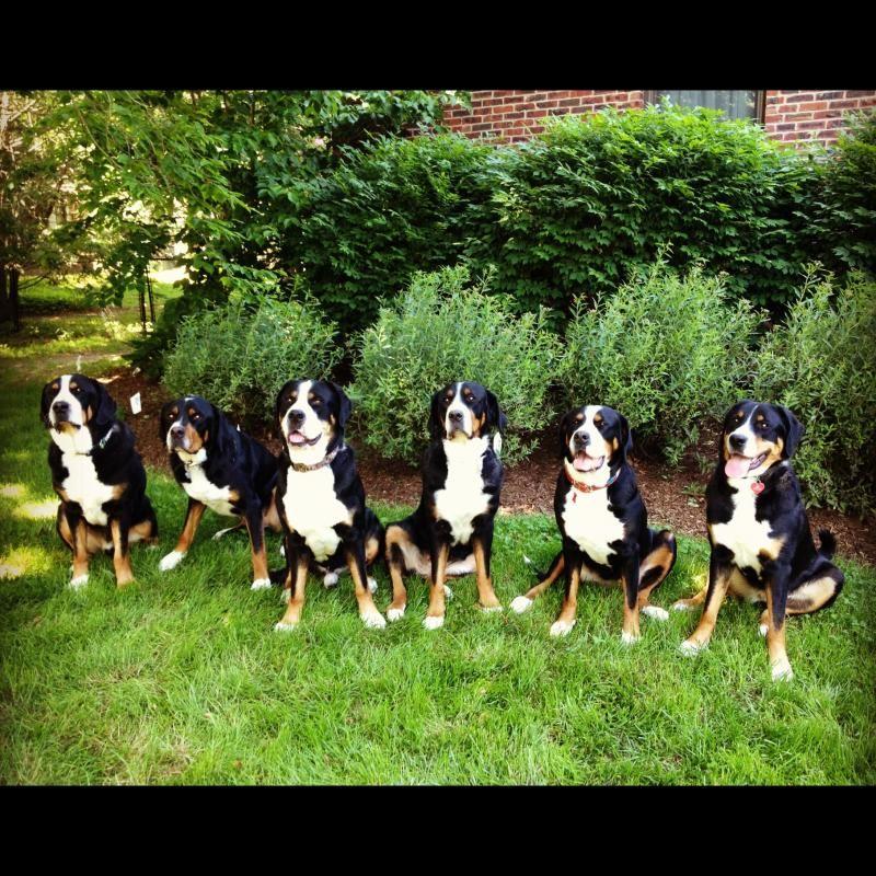 Ramapo Greater Swiss Mountain Dogs Breeder Greater Swiss