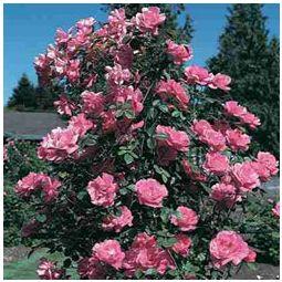 Climbing Show Garden Rose   Hybrid tea roses, Botanical ...