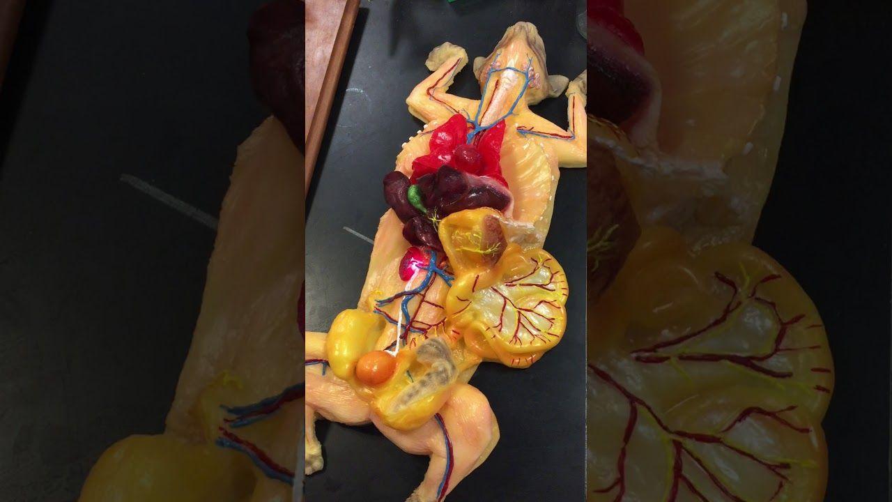 Cat Anatomy Video | cat anatomy & physiology | Pinterest | Cat ...