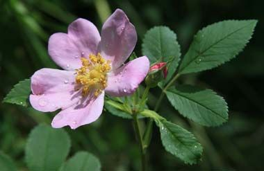 The Wild Rose Was Adopted As The State Flower Of Iowa In 1897