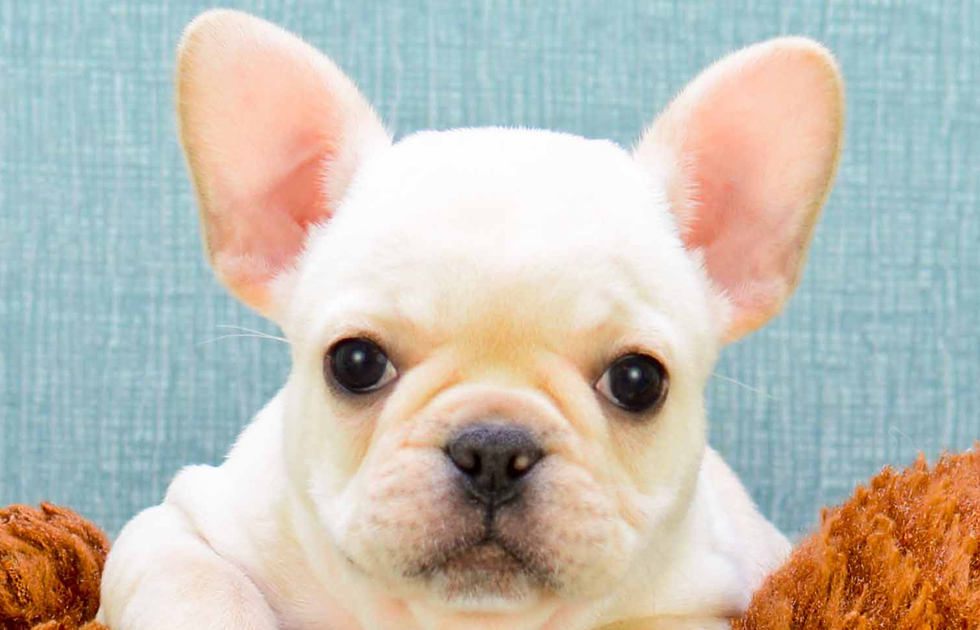 French Bulldog Puppies For Sale Indiana Bulldog puppies
