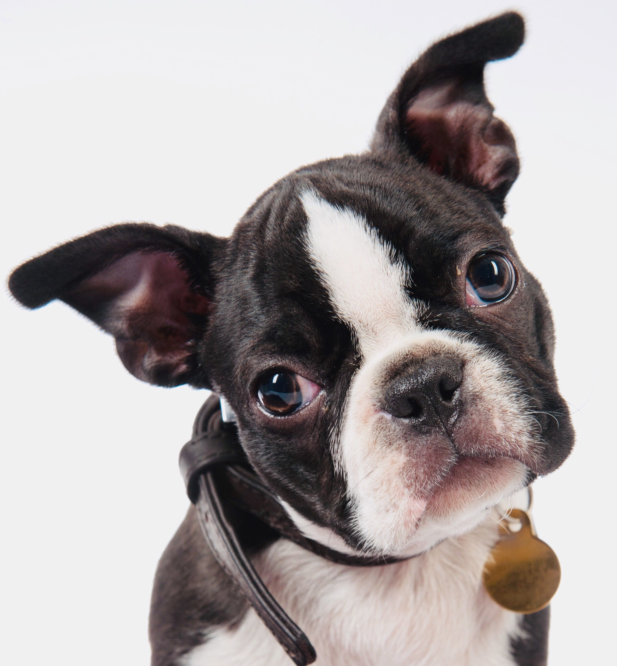 Boston Terrier Pup Portrait Boston terrier, Boston