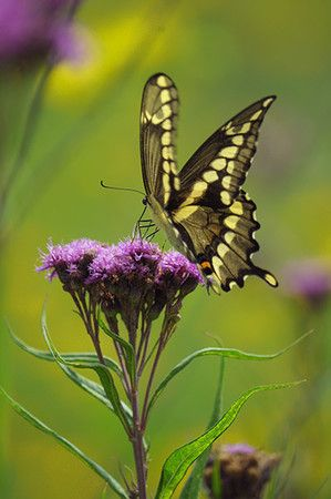 Giant Swallowtail Butterfly On Ironweed (Vernonia Fasciculata)