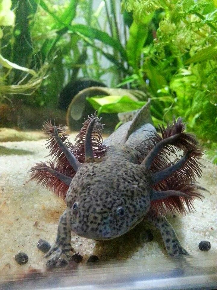 I Really Want One But Texas Is Too Hot With Images Axolotl