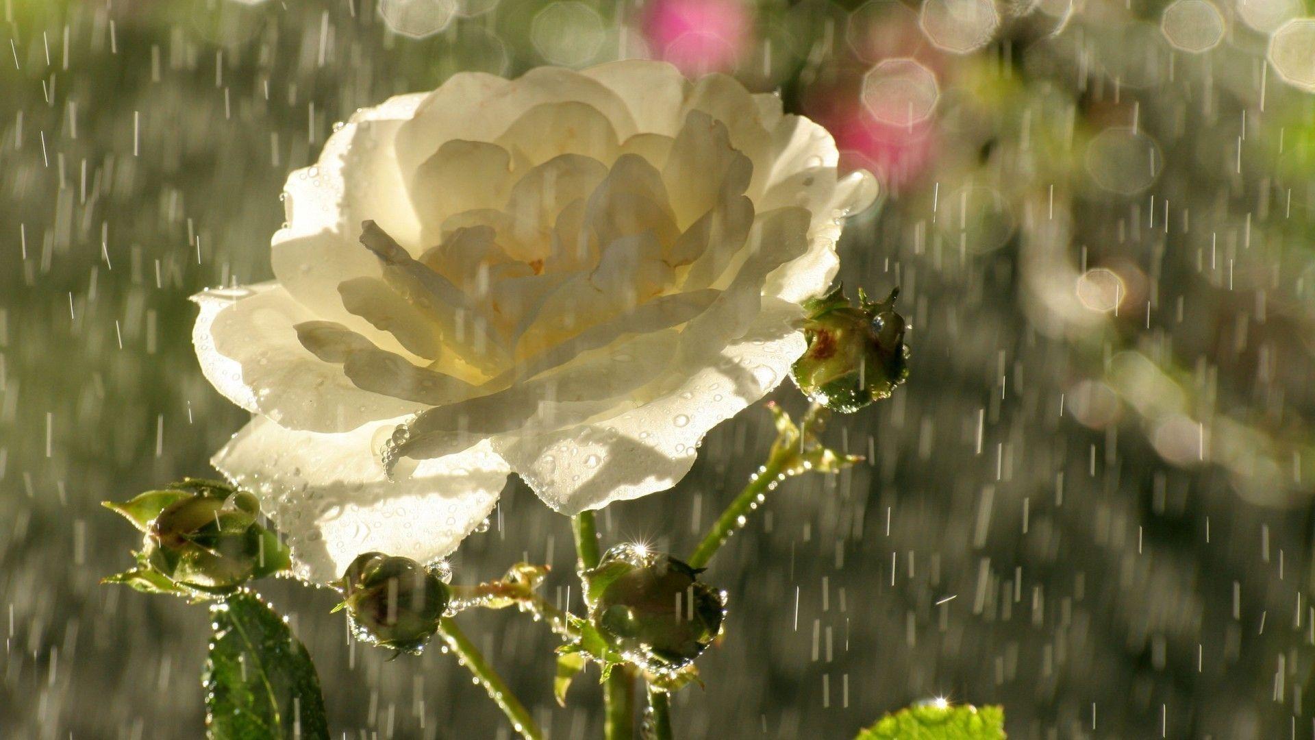 Flower Wallpapers Rain Wallpapers Rose Wallpaper