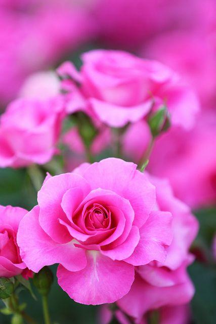 Pink Rose, Kyoto, Japan
