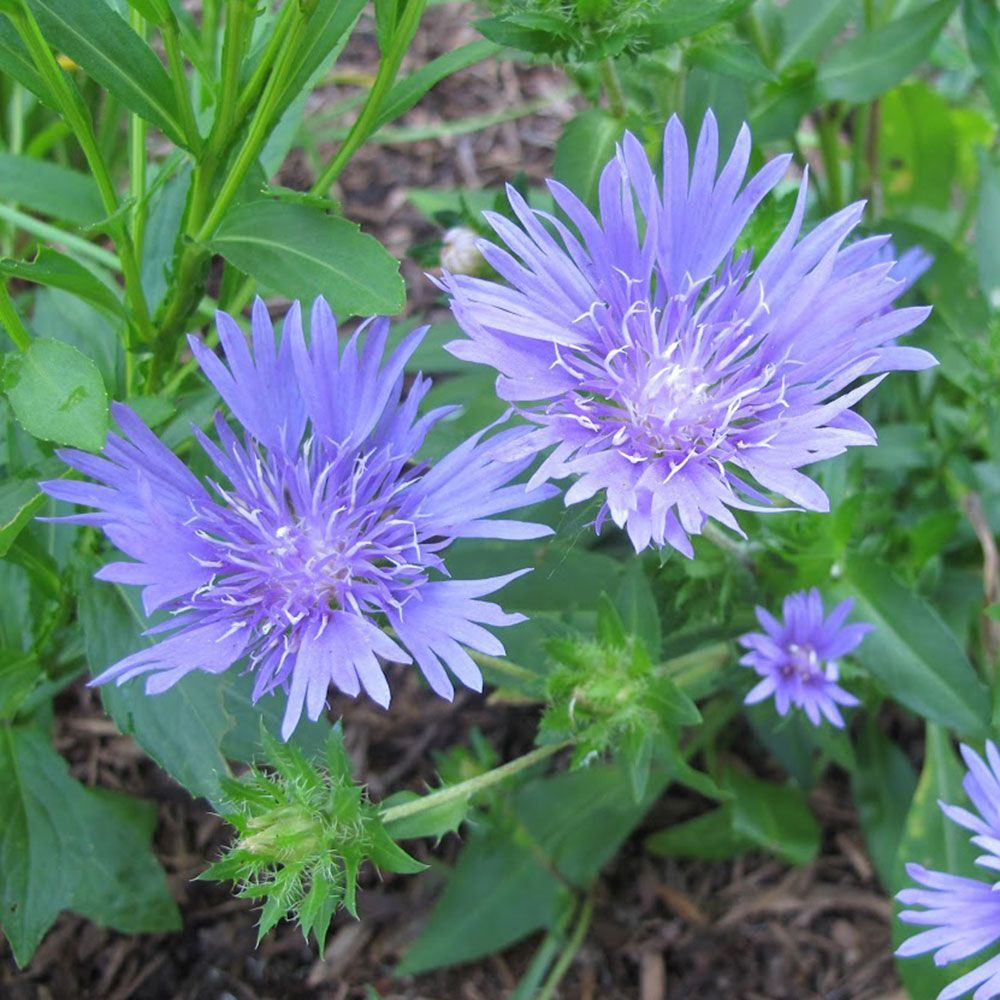 Stokesia Laevis Mels Blue Perennials And Flowers