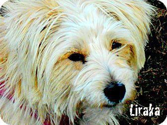 Columbia Heights Mn Terrier Unknown Type Medium Mix Meet Liraka A Dog For Adoption Dog Adoption Terrier Pets
