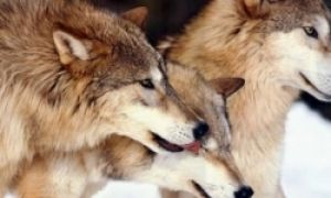 Discover what it means for a wolf or wolves to appear in a persons dream. From singular or family groups, we can learn about the nature of the dreamer or people that the dreamer is connected to in their life. It can also reveal information pertaining to their spiritual growth and internal changes such as emotional growth, decisions surrounding personal relationships or even career goals.