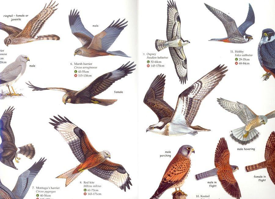 British Birds Of Prey 2 Pet Birds Birds Of Prey British Birds Of Prey