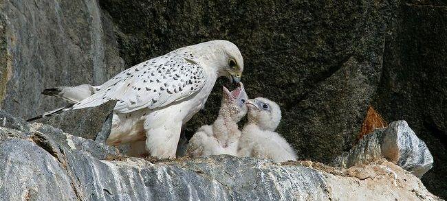 انثى طائر سنقر وصغارها في العش Birds Of Prey Animals Beautiful Albino Animals