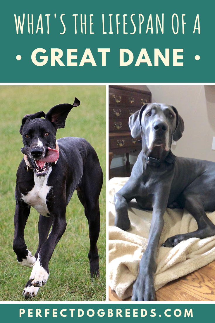 Best Affordable Dog Food For Great Danes