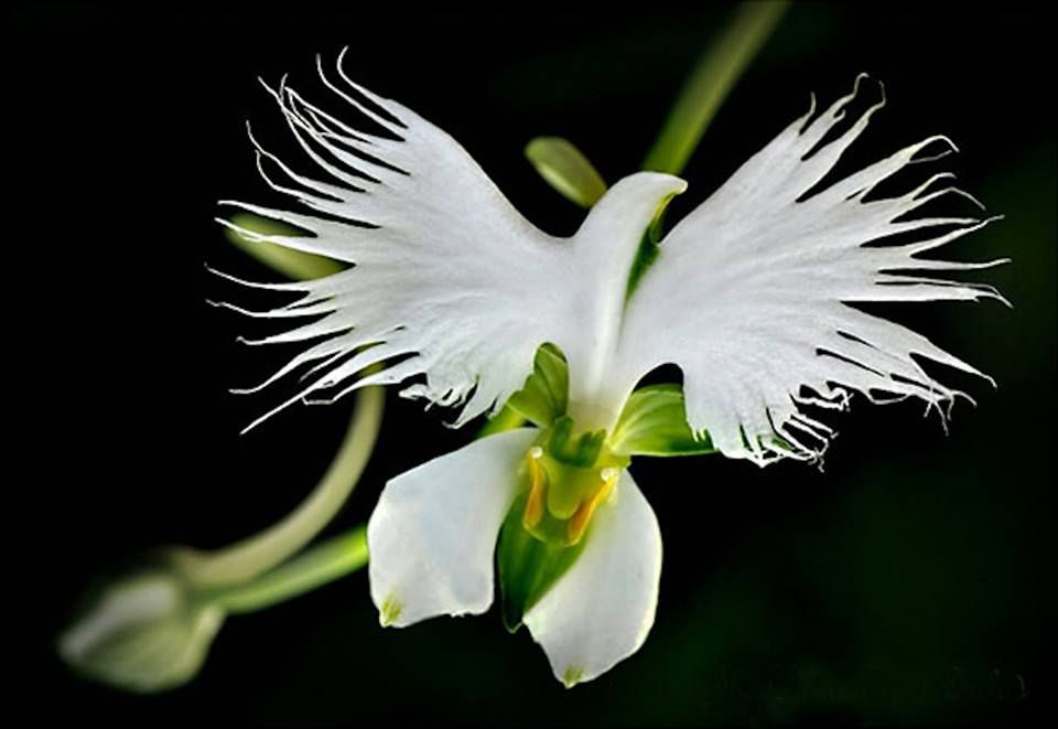 One Of Japan S Most Famous Orchids Is The Delicate Terrestrial Species The Egret Flower Habenaria Radiata Unusual Flowers Orchid Seeds Strange Flowers
