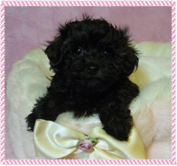 Black Teacup Maltipoo Puppies Zoe Fans Blog Maltipoo Puppy Maltipoo Cute Baby Animals