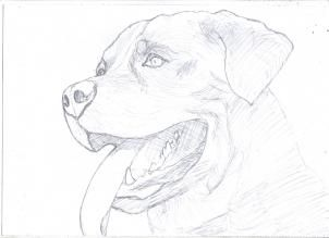 Image Result For Dog Drawing Colored Pencil Rottweiler Animal
