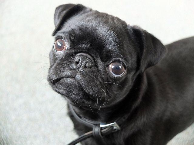 Leffe Black Pug Puppies Black Pug Pugs