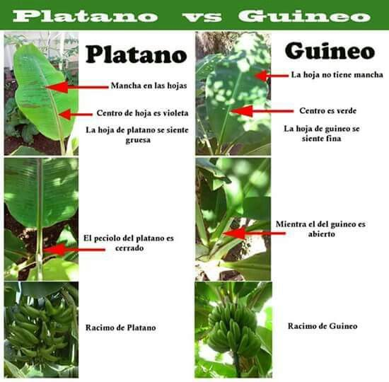 Differences Between The Plantain And The Banana Plants Banana Plants Plants Veggie Garden